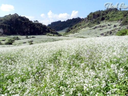 Những vạt hoa cải trắng tinh khôi