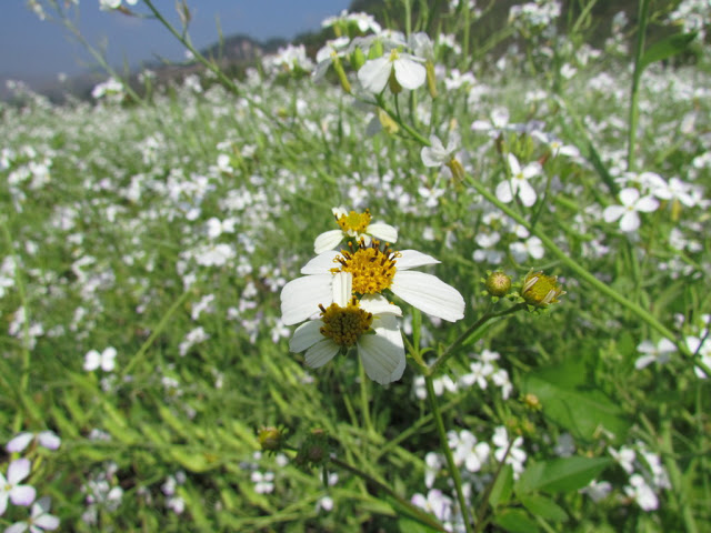Hoa dại mọc hiếm hoi giữa rừng hoa cải. Mình nhơ không nhầm thì đây là hoa Xuyến Chi Tên một bộ phim Việt lâu rồi thì phải