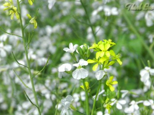 Hoa cải vàng mọc nở giữa rừng hoa cải trắng
